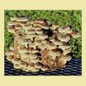 shiitake-mushroom-growing-kit-wheatgrass-kits