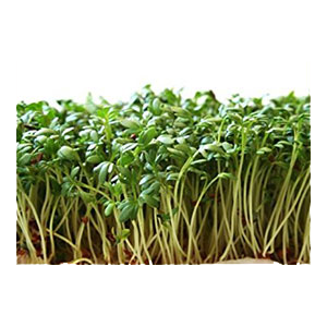 cress-garden-peppergrass-sprouts-1-amazon