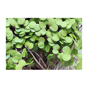kale-seeds-microgreens