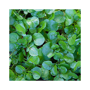 watercress-seeds-amazon