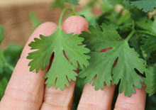 cilantro-benefits-related-pages