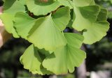 ginkgo-tree-leaves