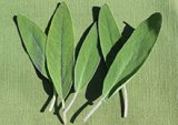 sage-leaf-benefits-related-pages