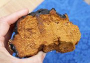 chaga-related-page