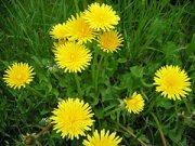 dandelion-root-benefits-dandelion-plant