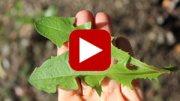 wild-dandelion-greens-thumbnail