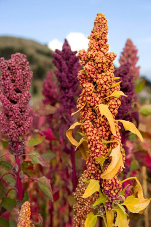 quinoa-health-benefits-plant