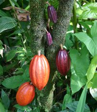 what-is-cacao-Theobroma-cacao