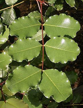 carob-nutrition-Ceratonia-siliqua-tree-leaves