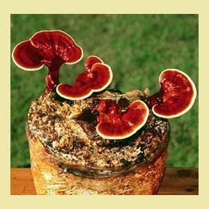 reishi-mushroom-growing-kit-wheatgrass-kits