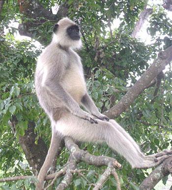 shilajit-benefits-white-monkeys