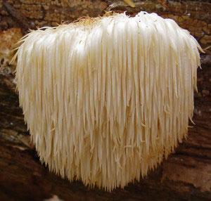 medicinal-mushroom-Hericium-erinaceus
