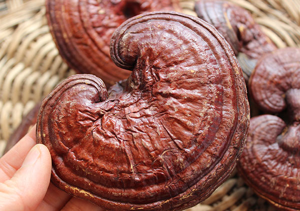 cleansing-herbs-reishi-mushroom