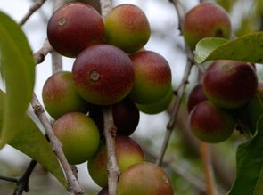 health-benefits-of-camu-camu-tree-fruit