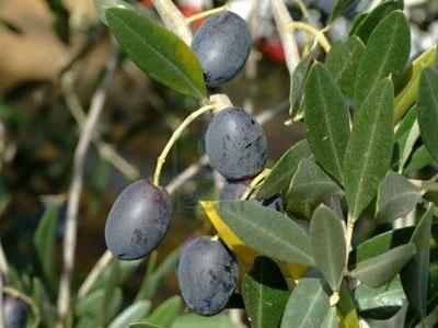 health-benefits-of-olives-black-olive-tree