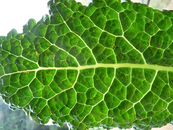 dark-leafy-greens-kale-dino
