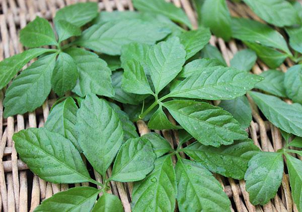 chinese-herbs-list-gynostemma