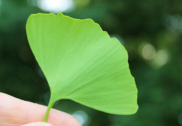 ginkgo-biloba-benefits-leaf