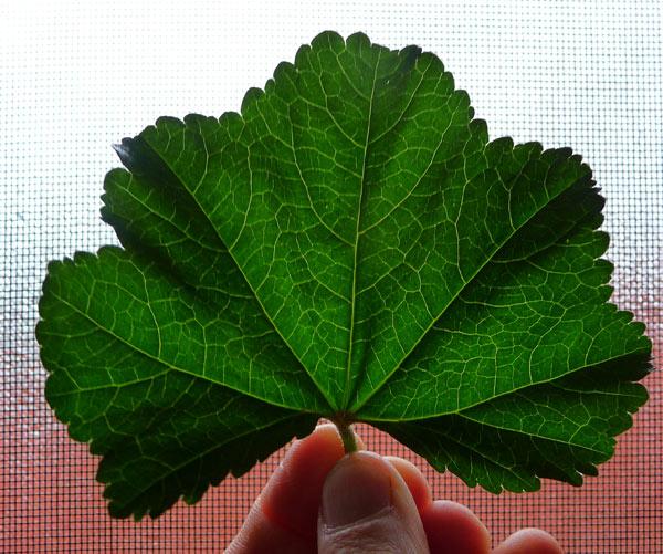 mallow-plant-leaf-malva-harvest
