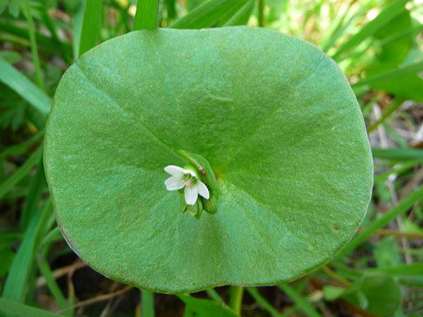 miners-lettuce-leaf