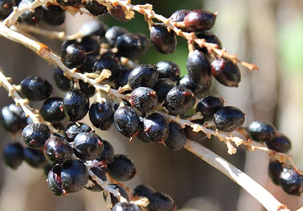 palm-tree-fruit-washingtonia-filifera