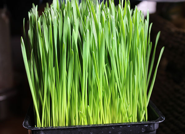 what-is-wheatgrass-juice
