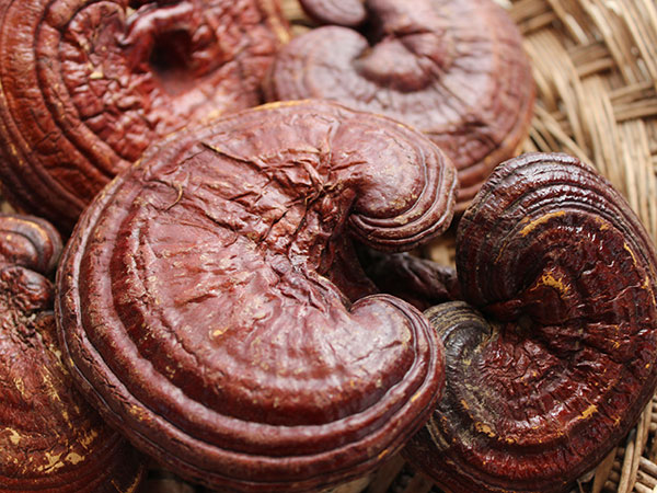 chinese-herbal-tea-reishi