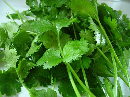 leafy-greens-list-cilantro-leaf