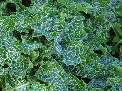 wild-edible-plants-milk-thistle-leaves