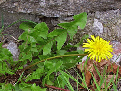 edible-wild-plants-dandelion-greens