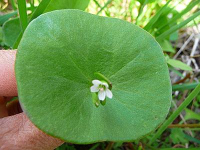 edible-wild-plants-miners-lettuce-leaf
