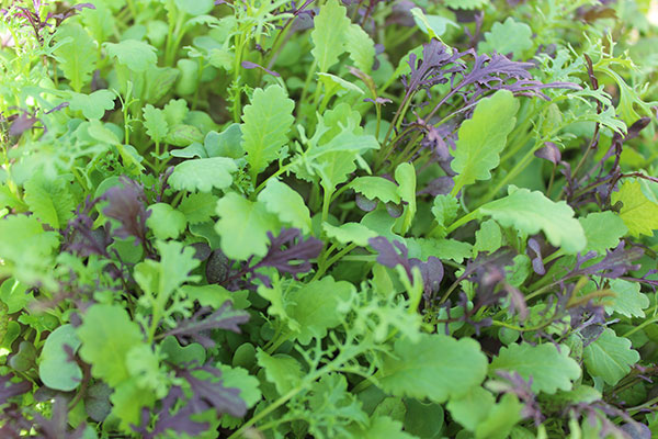 how-to-grow-microgreens-step-by-step-guide