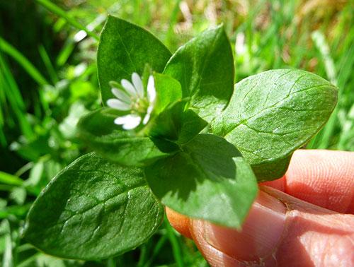 wild-chickweed-benefits-to-health