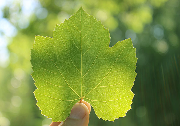 wild-grape-leaf-species