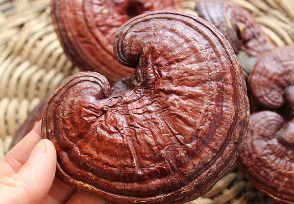 ganoderma-lucidum-reishi-benefits