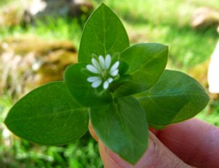 wild-edible-greens-chickweed-plant