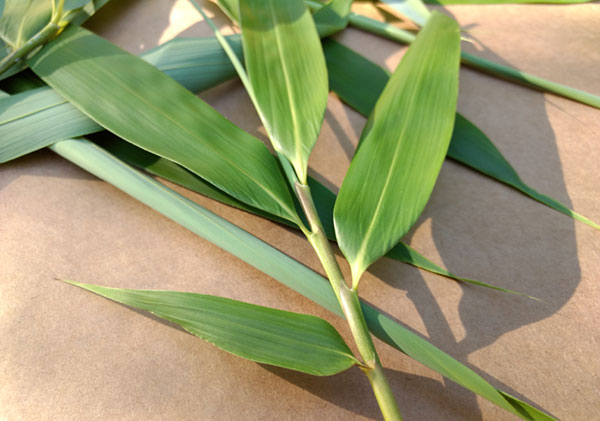 bamboo-leaf-tea-and-extracts