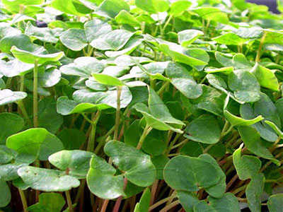 super-sprouts-growing-buckwheat-sprouts