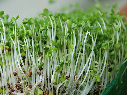 types-of-sprouts-broccoli-sprouts