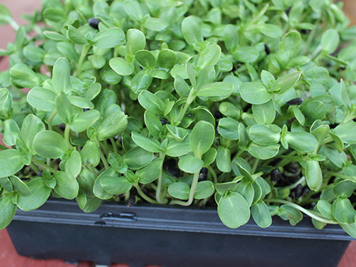 types-of-sprouts-sunflower-greens