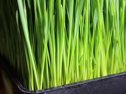 types-of-sprouts-wheatgrass