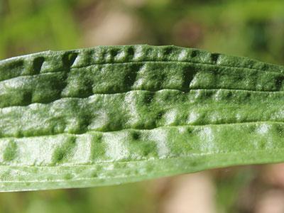 wild-edible-greens-plantain-leaf