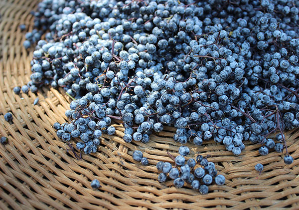 elderberry-wild