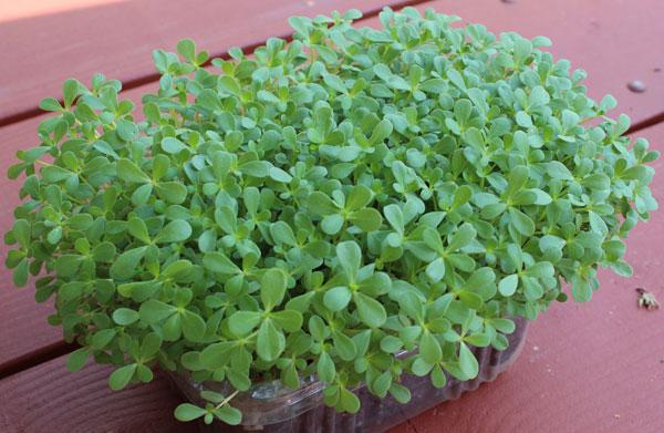 purslane-nutrition-microgreens
