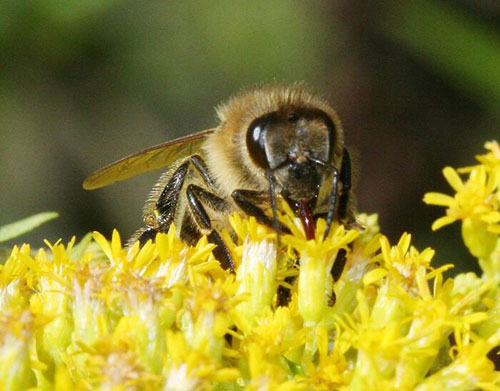 what-is-raw-honey-bee-nectar