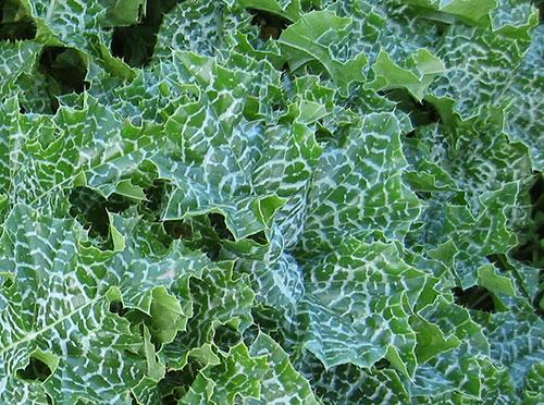 milk-thistle-benefits-leaves