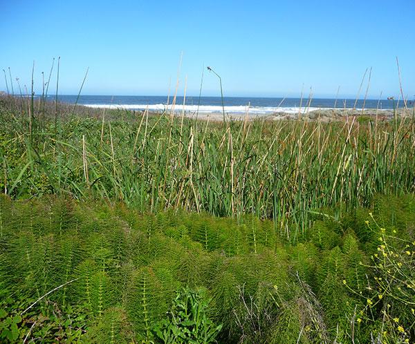 horsetail-plant-coastal-species
