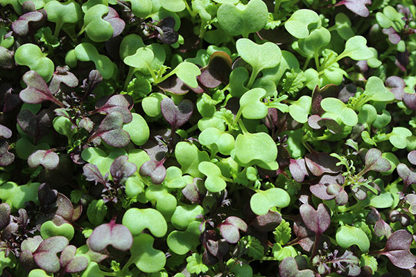 how-to-grow-microgreens-spicy-mix