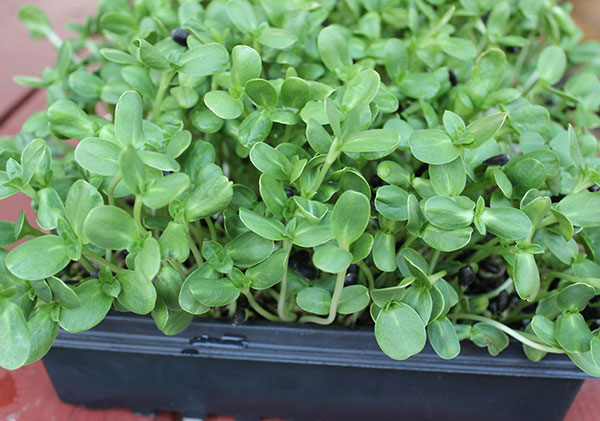 beneftis-of-sprouts-tray-soil-medium