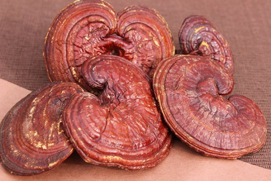 reishi-ganoderma-lucidum-benefits